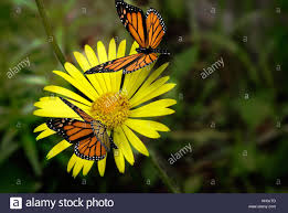 a beautiful butterfly with yellow pattern on the wings is sitting