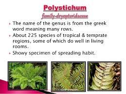 ornamental pteridophyte