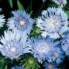 142 best gardening blue flowers images on pinterest blue flowers