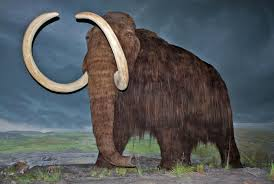 genes woolly mammoths riddled bad mutations
