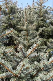 fresh christmas trees grown locally as sustainable crops