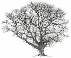 White Oak Tree Drawing Sarah Woolfenden