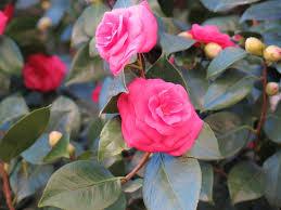 Pink Spring Flowering Shrubs - spring flowering shrubs at our california home valley gardens