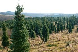 wife mother gardener renick u0027s christmas tree farm