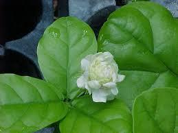 Most Fragrant Jasmine Plant - jasmine sambac triple bloomer