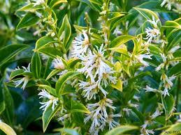 Fragrant Plants Sweet Box Name That Plant