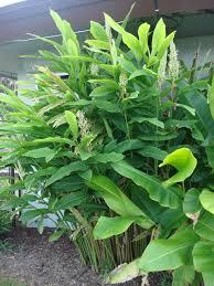 mature greater galangal plant alpinia galanga zones 8a to 10 4