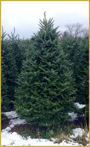 balsam fir christmas tree real christmas trees delivered fresh fraser fir christmas tree