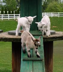 thanksgiving lancaster pa new baby goats every year amish farm and house lancaster pa