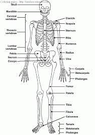human skeleton worksheet
