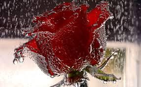 flower rain charismatic valentines day paradise flowers wet water
