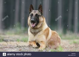 belgian sheepdog breeds dog belgian shepherd malinois lying in a forest stock photo