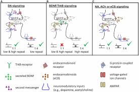 frontiers coexistence of multiple types of synaptic plasticity