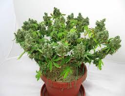 super cropping marijuana simple secret to bigger yields grow