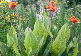 canna lilies canna pretoria canna