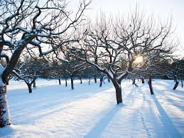 how to prune apple trees in winter woodland trust