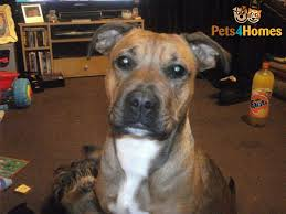 1 year old boxer dog free to good home 2 year old boxer x staffy ludlow shropshire