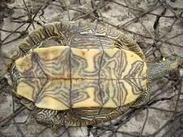 Ringed Map Turtle Louisiana Map Turtle