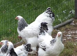 chickens for cold climates scratch cradle