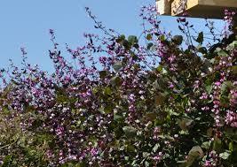 vines for texas dallas garden buzz