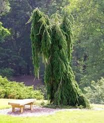 best 25 weeping spruce ideas on spruce