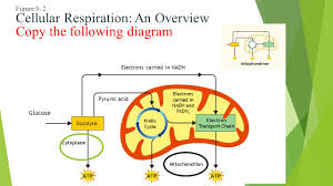 unit 5 photosynthesis and cellular respiration ppt download