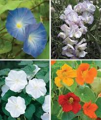moon flowers moonflowers seeds annual flower seeds at burpee