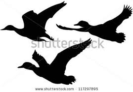 flying ducks stock images royalty free images u0026 vectors