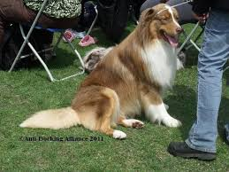 australian shepherd eyesight anti docking dogs u0027 tails and cropping of dogs u0027 ears puppy sales