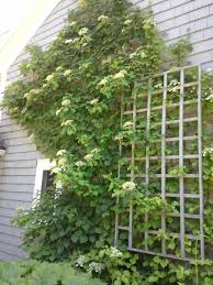 Privacy Trellis Ideas by Learn How To Grow Climbing Hydrangea In The Garden In This Article