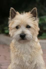 cairn terrier haircuts cairn terrier cuts google search pets pinterest cairn