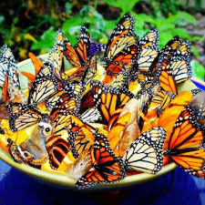 how to a butterfly feeder butterfly gardens and