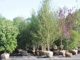 nigra river birch trees seedlings to 20ft trees