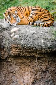316 best amazing tigers images on pinterest wild animals master of his domain by william doran via flickr tiger from the point defiance zoo