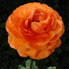 Ranunculus Ranunculus Spring Flowering Bulbs Products Rose Cottage Plants