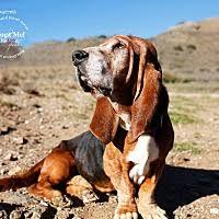 bluetick coonhound rescue california acton ca pet adoption basset hound rescue network has dogs