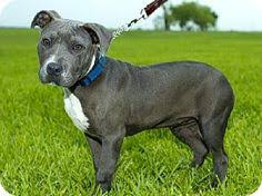 affenpinscher jakt basenji medium dog breed basenji the basenji is known as the