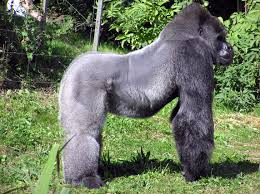 file bristol zoo western lowland gorilla arp jpg wikimedia commons