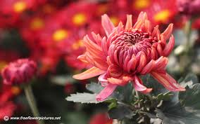 Chrysanthemum Chrysanthemum Pictures Chrysanthemum Flower Pictures