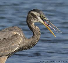 Heron Meaning by Environment Elements Hyperlocal Journalism Photo Blog