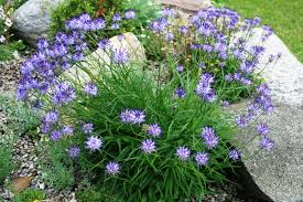 plants for rock gardens plant of the month for january 2016 ontario rock garden u0026 hardy