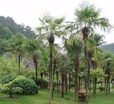 trachycarpus fortunei wikipedia