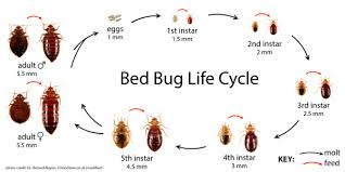 Bed Bugs How Do You Get Them How To Get Rid Of Bed Bugs Bites