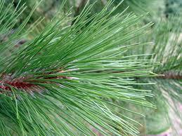 spruce fir pine eastern cedar evergreen tree nursery stock