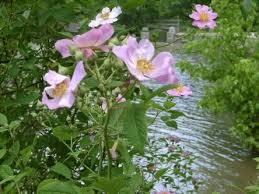 Flowers In Bismarck Nd - north dakota state flower wild prairie rose state flowers