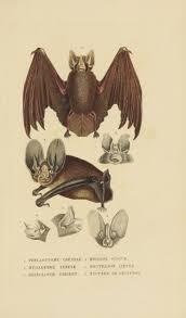 11 best bat illustrations images on pinterest bats mammals and