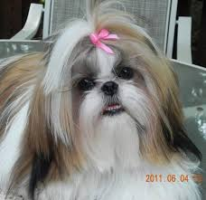list of shih haircut shih tzu lovers welcome you north carolina shih tzu pupps