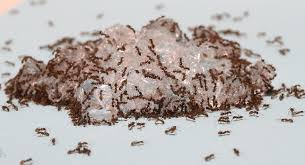 hydrogel baits offer novel way to manage invasive ants purdue