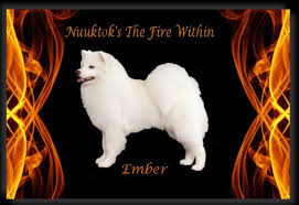 american eskimo dog ontario nuuktok american eskimo dogs