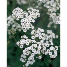 babys breath proven winners festival hardy baby s breath gypsophila live